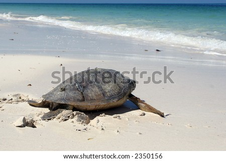 Sea turtle crawling down a tropical beach - stock photo