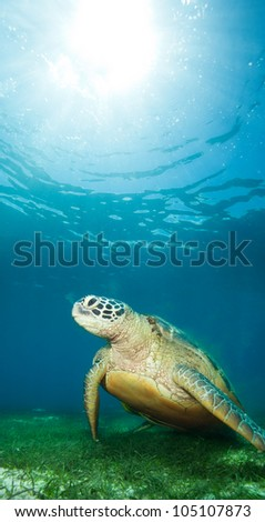 sea turtle deep underwater on seaweed