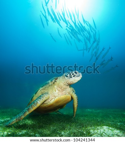 Sea turtle deep underwater with barracudas and sunlight water