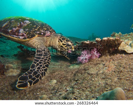Sea turtle eating soft coral. - stock photo