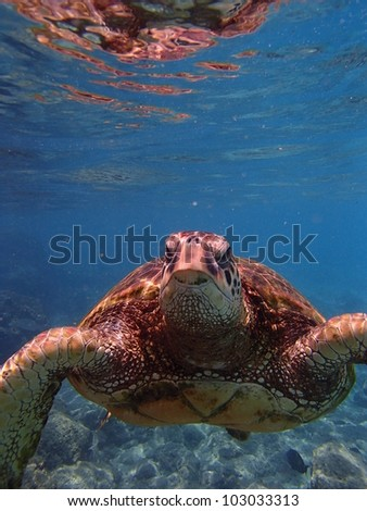 Sea turtle face swimming in ocean