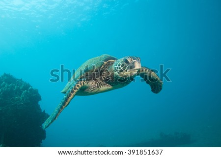Sea Turtle Facing the Camera underwater
