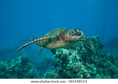 Sea Turtle Gliding over the Coral Reef - stock photo