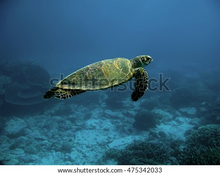 Sea turtle, Great Barrier Reef, Australia