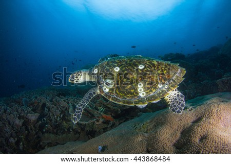 Sea turtle. (green turtle, hawksbill turtle) Amazingly beautiful underwater view with school of fishes, hard and soft corals. Healthy reefs of Nusa Penida, Indonesia. - stock photo