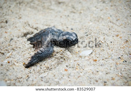 Sea Turtle Hatchling - stock photo