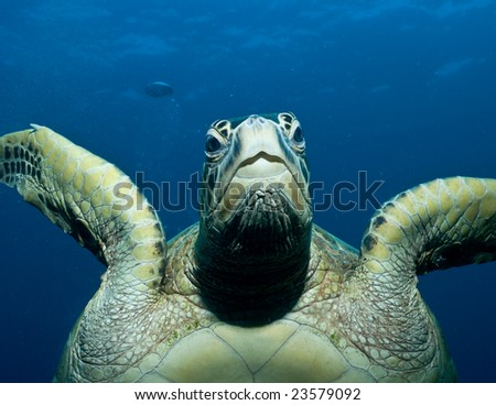 Sea turtle head on