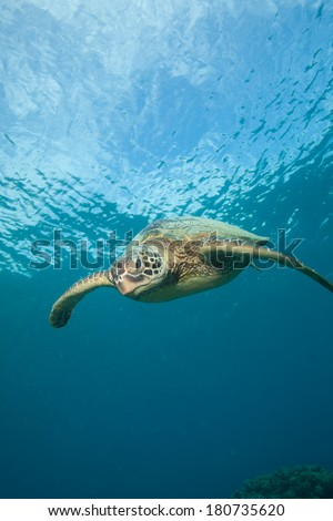Sea Turtle Head On with clouds in the background - stock photo