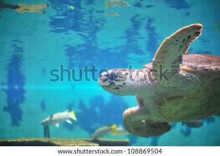 Sea turtle in aquarium. - stock photo