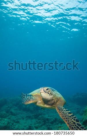 Sea Turtle in beautiful blue tropical water - stock photo