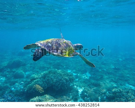 Sea turtle in blue water. Green sea turtle seeking for food in blue seashore water. Salt water animal. Sea animal. Cute turtle photo for wallpapers or background. Summer vacation travel to Philippines - stock photo