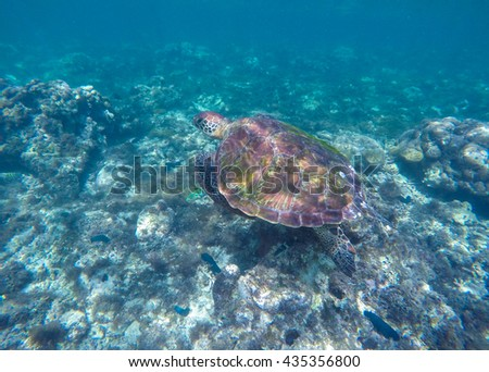 Sea turtle in blue water. Ocean animal - green sea turtle with big shell with seaweeds. Image of swimming green turtle. Dive with green sea turtle. Sea shore animal photo. Underwater reptile turtle. - stock photo