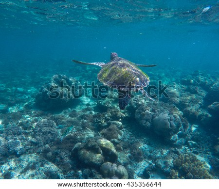 Sea turtle in blue water. Ocean ecosystem - coral reef, tropical fish, sea turtle. Green turtle swimming in the sea water. Tropical sea inhabitant - big sea turtle. Adult sea turtle diving for food.  - stock photo