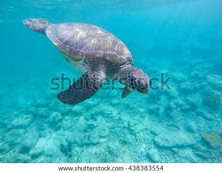 Sea turtle in blue water, olive green turtle in tropical sea. Snorkeling in Philippines. Snorkeling with turtle. Philippines marine fauna. Ecosystem of Philippines tropical island. Exotic sea animal - stock photo