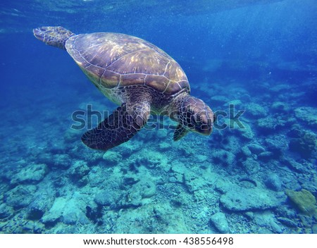 Sea turtle in blue water, sea turtle diving picture, summer holiday in tropical sea, snorkeling with turtle image, lovely sea turtle in ocean, big green shell turtle, rare species of sea ecosystem  - stock photo