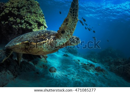 Sea turtle in deep blue water near coral reef. Underwater world of Pacific ocean discovered. Marine life in open water of Hawaiian island Maui