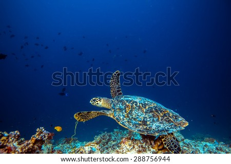 Sea turtle in habitat. Loggerhead floating over coral reef with deep blue on background. An underwater world discovered. - stock photo