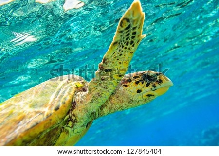 Sea turtle in The Indian Ocean, Maldives - stock photo