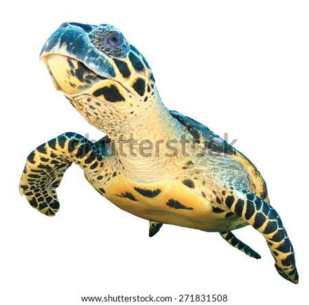 Sea Turtle isolated - stock photo