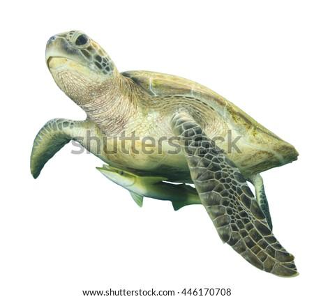 Sea Turtle isolated white background (with Shark sucker fish) - stock photo