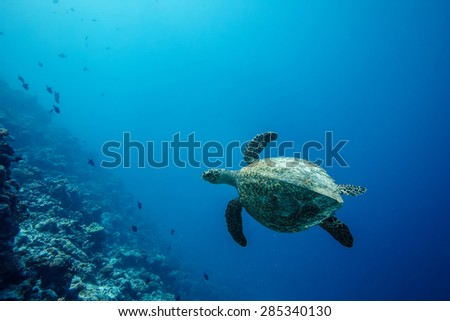Sea turtle loggerhead floating over corals in tropical paradise. In deep blue background - stock photo