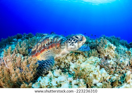 Sea Turtle looking up from a tropical coral reef - stock photo