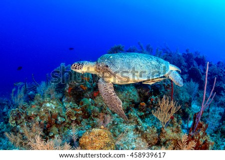 Sea Turtle on a Caribbean Reef