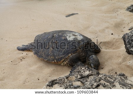 Sea Turtle on Beach - stock photo