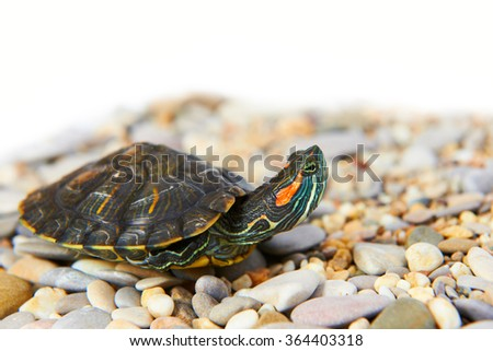 Sea turtle on the sand with isolated white background - stock photo