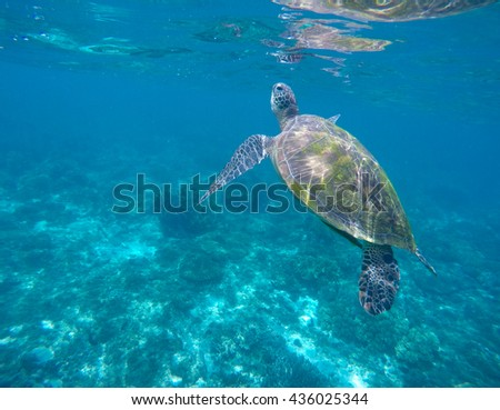 Sea turtle picture, green turtle swimming, rare marine species turtle, animal in sea shot, ocean life near coral reef, sea turtle underwater photo, beautiful sea animal, snorkeling with turtles - stock photo
