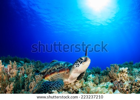 Sea Turtle raising its flipper towards the sun - stock photo