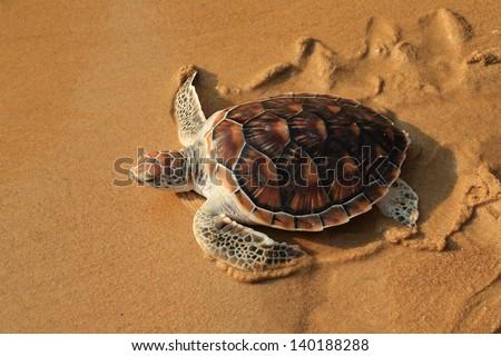 Sea turtle release on Phuket island. - stock photo