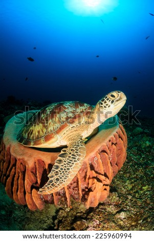 Sea Turtle resting in a large barrel sponge on a tropical coral reef - stock photo