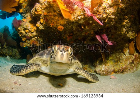 Sea turtle resting in the reefs of Cabo Pulmo National Park, Cousteau once named it The world's aquarium. Baja California Sur,Mexico.  - stock photo