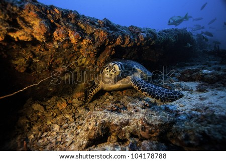 Sea Turtle resting on the Coast Guard Cutter Duane in Key Largo, Florida - stock photo
