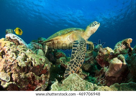 Sea Turtle rests on coral reef
