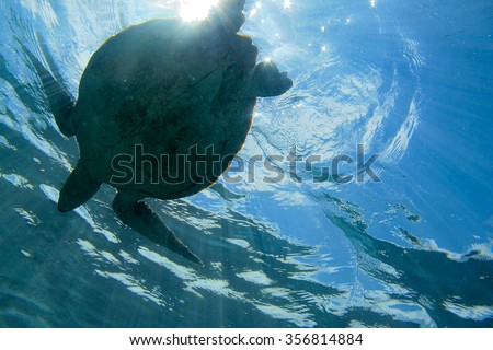Sea turtle resurface for air supply in a tropical climate ocean of Malaysia