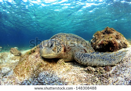 Sea turtle sleeping underwater Galapagos Islands - stock photo