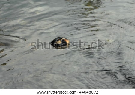 Sea turtle surfaces for air while feeding on algae on the Big Island of Hawaii.  Back and head surfaces. - stock photo
