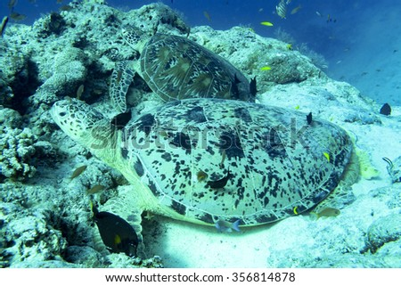 Sea turtle swimming in a tropical climate ocean of Malaysia