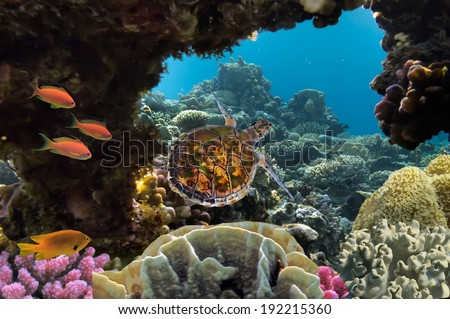 sea turtle swimming over coral reef in the Red Sea, Egypt. - stock photo