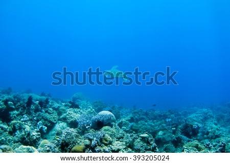Sea Turtle swimming under the sea - stock photo