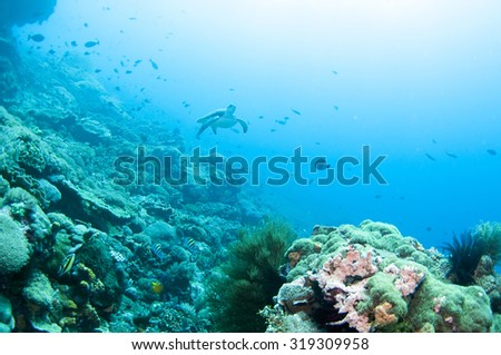 Sea Turtle swimming under the sea, Nusa Lembongan Island, Bali,  Indonesia.