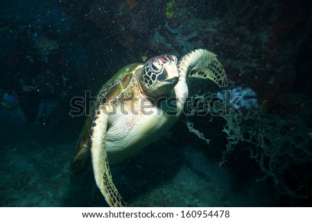 Sea Turtle swimming underwater.