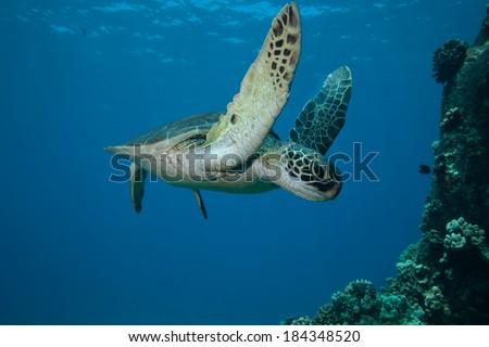 Sea Turtle swimming underwater past the camera - stock photo