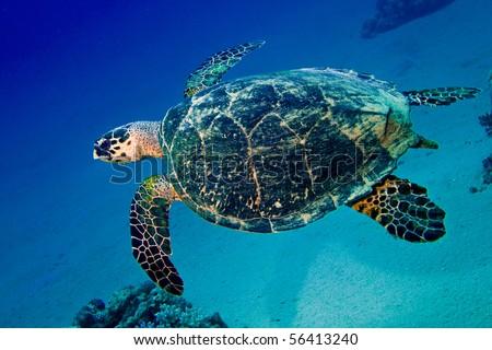 Sea turtle swims in blue underwater - stock photo
