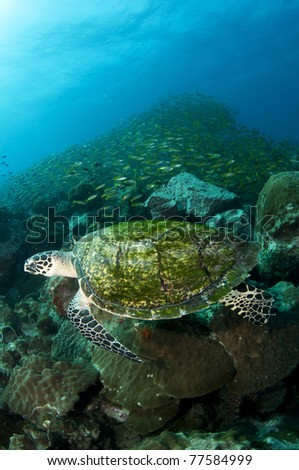 sea turtle swims with school of fish behind