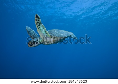 Sea Turtle Underwater in Mid Flight