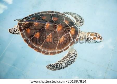 Sea turtles in pool - stock photo