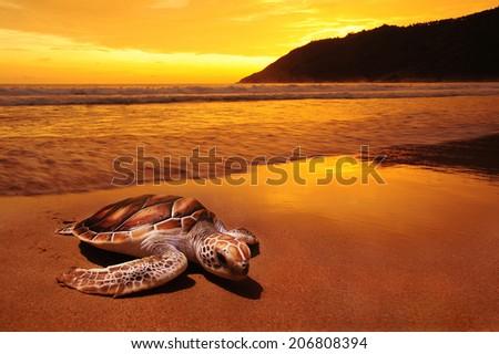 Sea turtles on sunset beach - stock photo